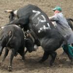 Las peleas de vacas en Valais