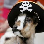 Desfile de cabras en Bellegarde-en-Marche